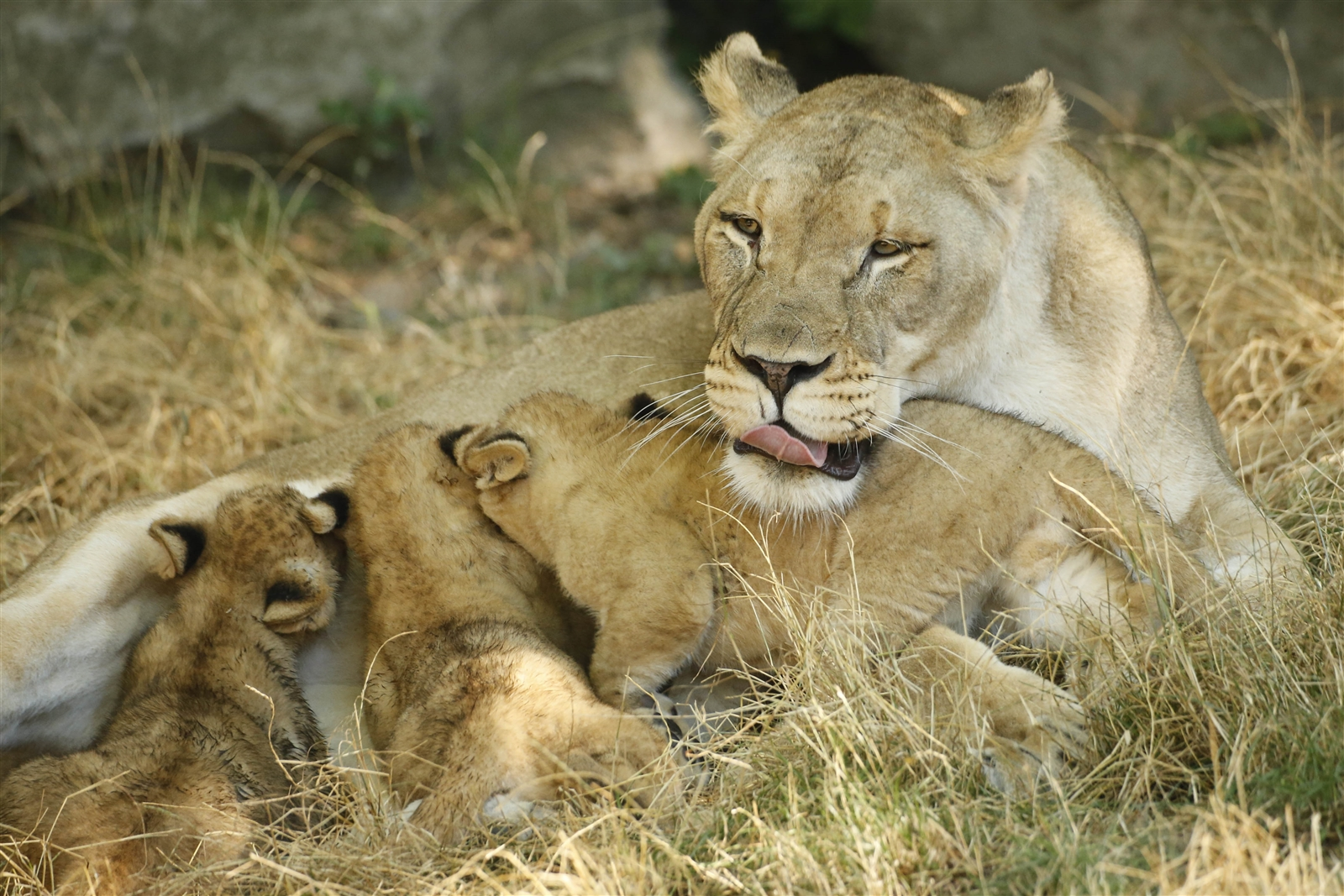 Lusaka lays patiently as her three new lion cubs, born May 12, nurse in their enclosure at the Buffalo Zoo Wednesday, Aug. 3, 2016.  The cubs will be unveiled at the Zoo this Saturday, along with their names, one of which is open for voting on the zoo's website.