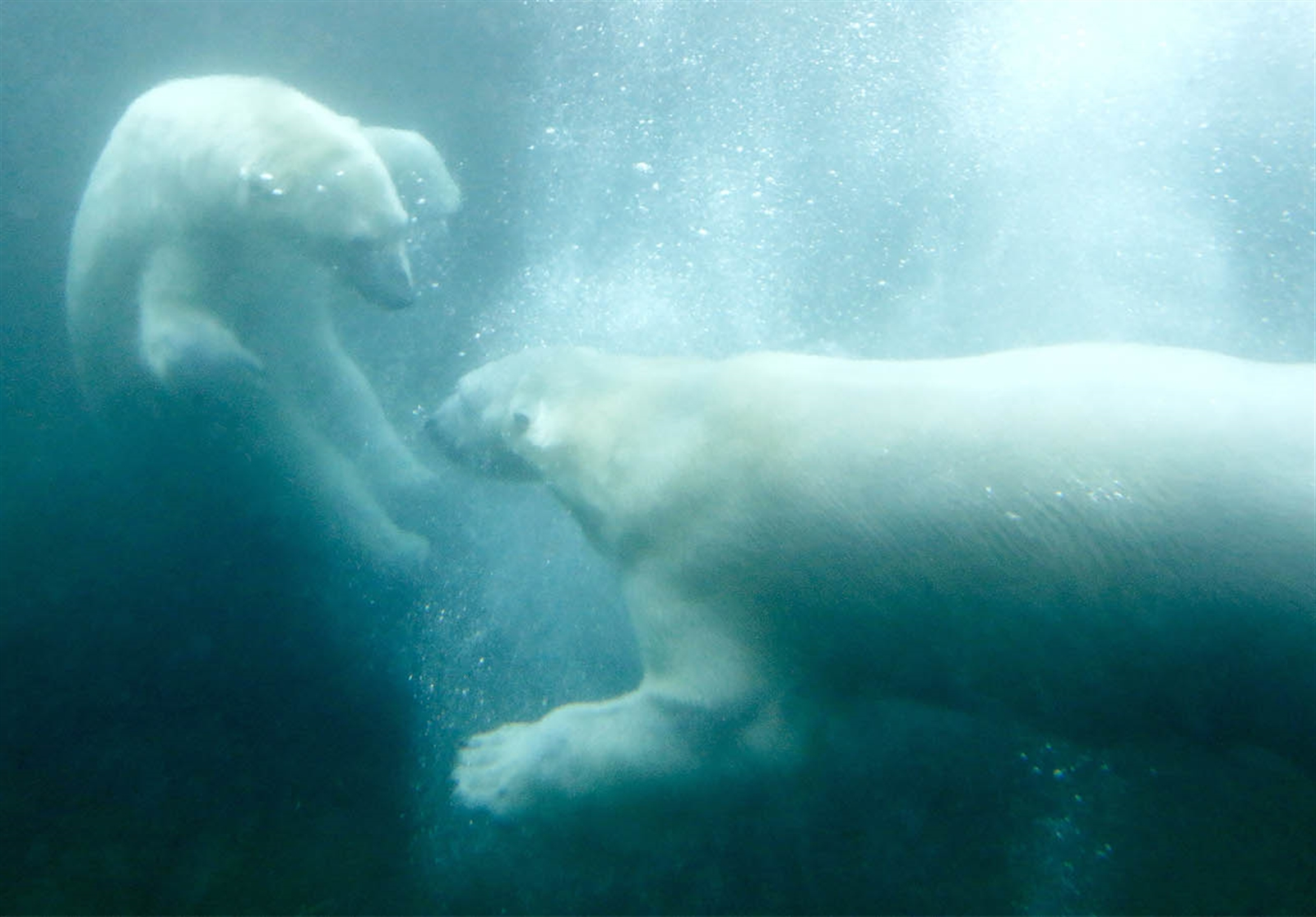 Sakari, right, and Luna, the polar bears, have recently been united just in time for Valentine's Day. They are frolicking in their shared area at the Buffalo Zoo.