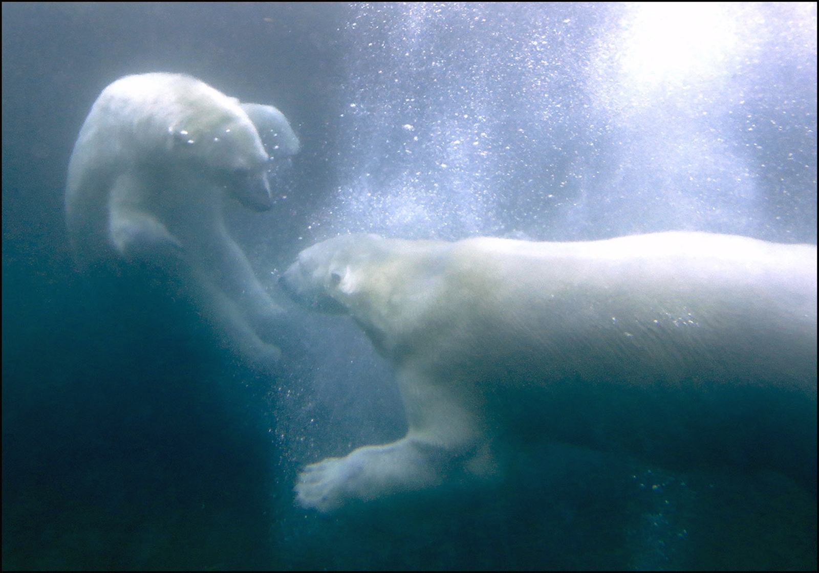 The Buffalo Zoo recently introduced the polar bears Luna, left and Sakari, right, in time for St. Valentine's Day. They are  frolicking in their shared area at the zoo.