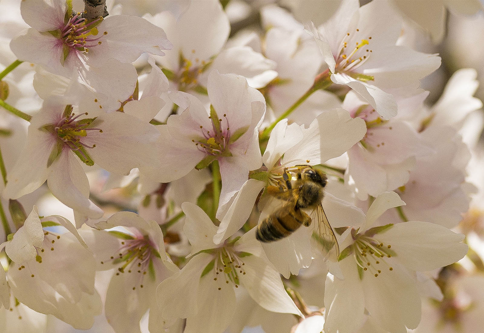 A busy bee collects nectar from cherry blossoms in the Buffalo Olmsted Parks Conservancy's Japanese Garden behind The Buffalo History Museum.