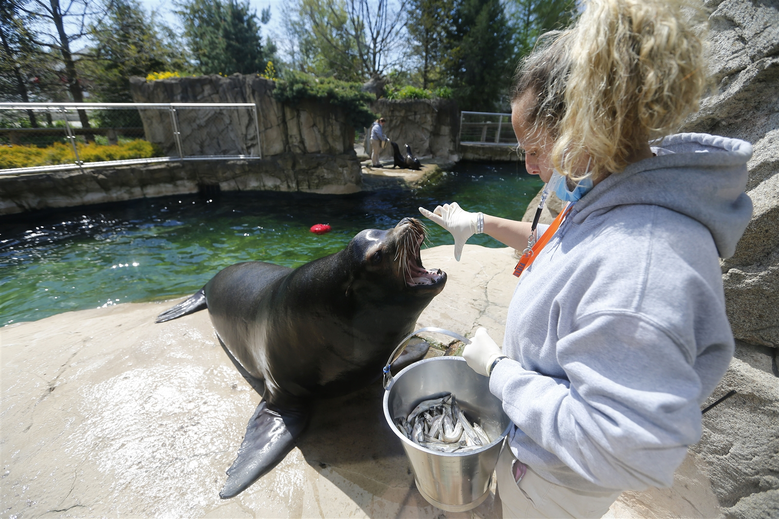 Megan Monaco feeds Dallas, a California sea lion at the Buffalo Zoo.