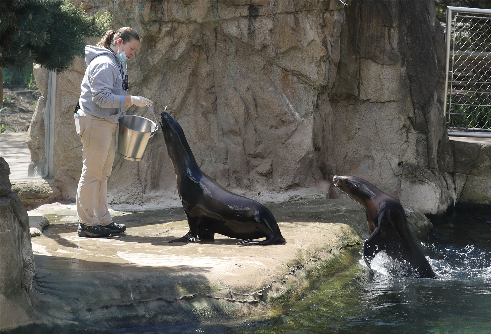 Lynn Hougle feeds Pokey and Jesse, both California sea lions at the Buffalo Zoo.