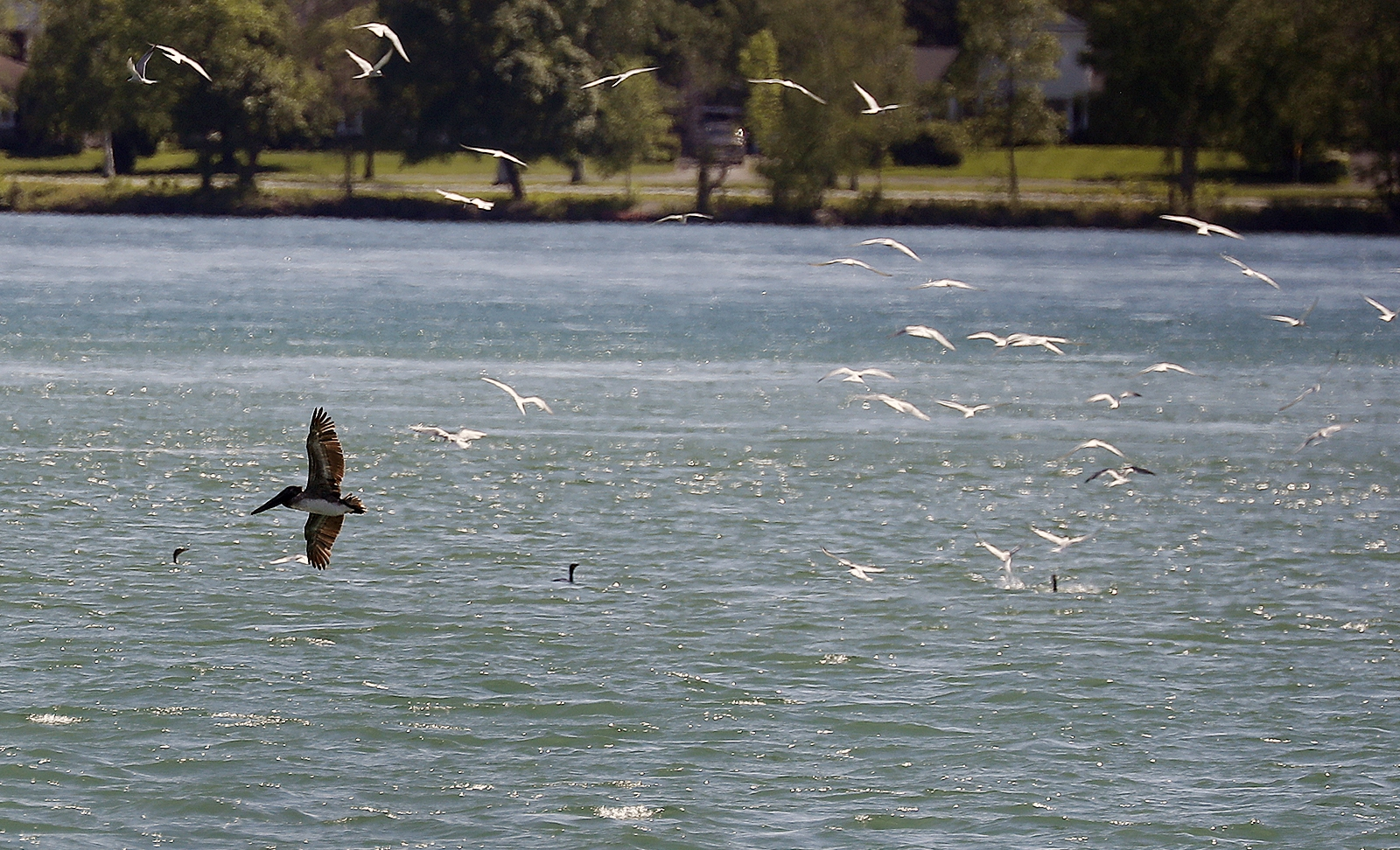 A brown pelican is followed by gulls near the power plant in Buffalo.