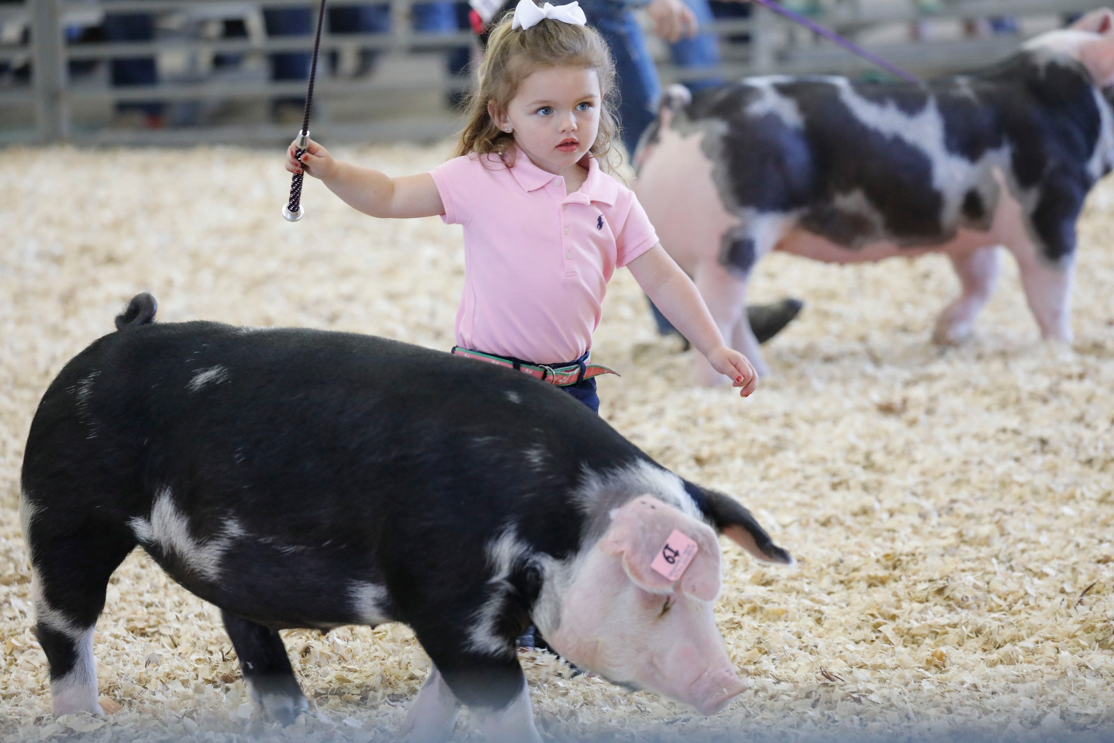 Lyla Kelkenberg, 3, of Clarence guides her pig, Pigaletta, in competition at the 17th annual WNY Hog and Lamb Preview Classic at the Erie County Fairgrounds, Saturday, June 3, 2017.