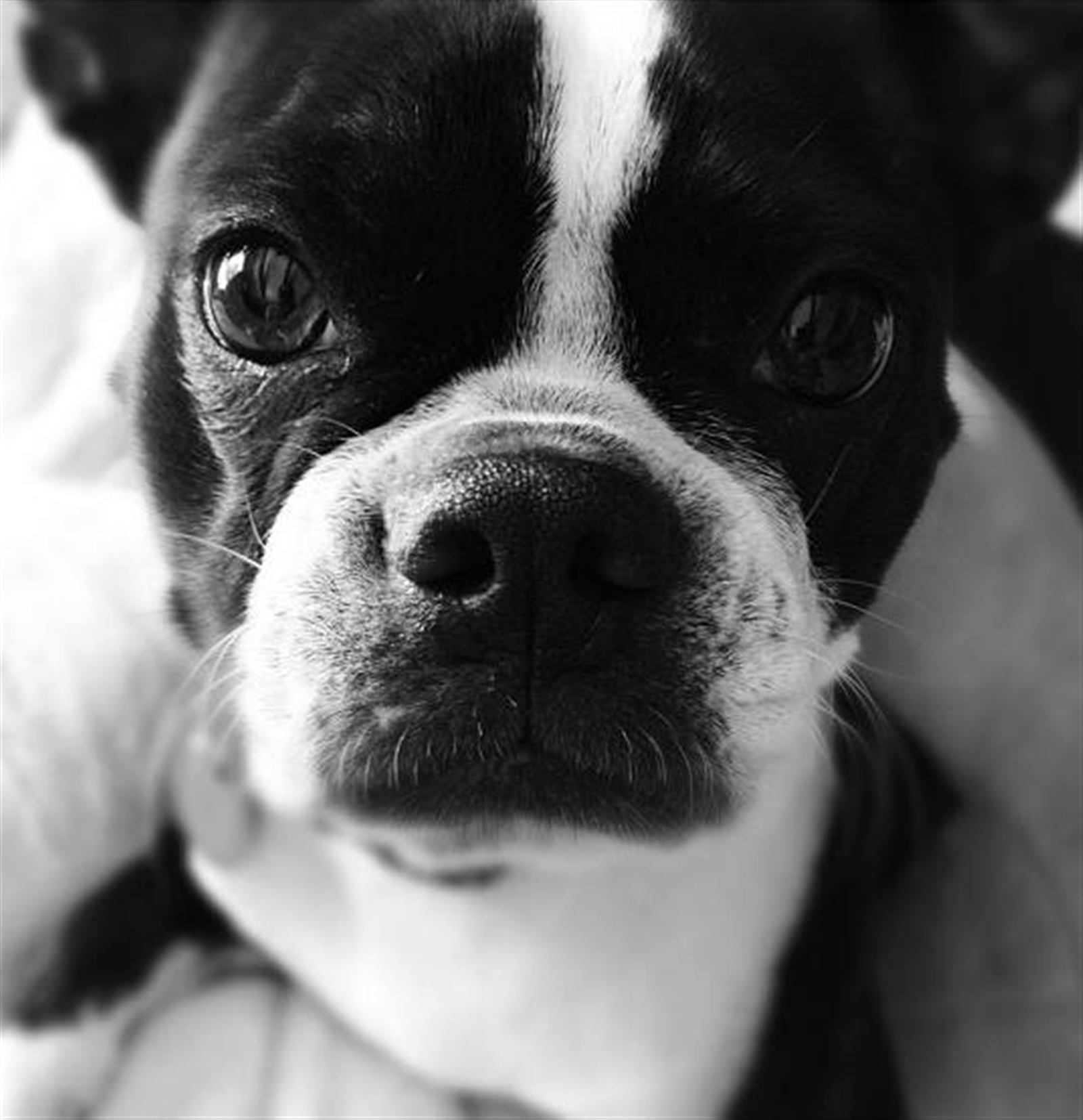 This is Olive. She's a 7-year-old female Boston Terrier. She likes long walks on the beach and getting caught in the rain. Opinion of Pina Coladas is yet to be determined.