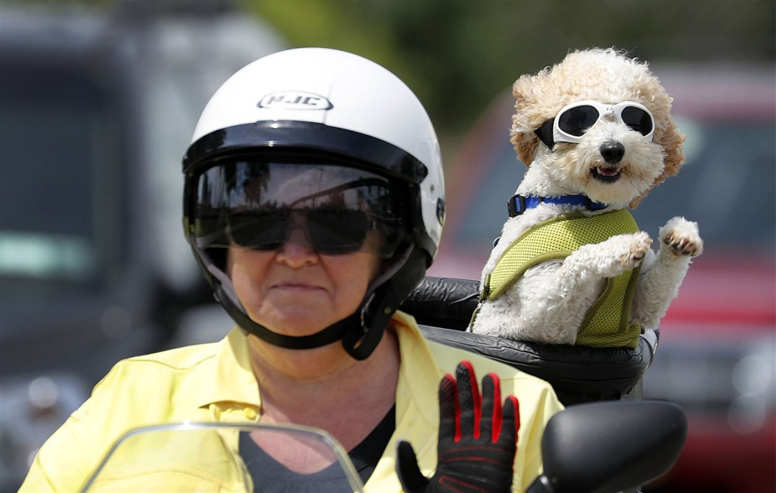 Brad is a 1-year-old Bichon Frise and poodle mix who often stands up and flails his paws from his PoochPod while riding a motor scooter. Pictured here: Donna McGuire and her dog Brad take a ride on their scooter along Fuhrmann Blvd.