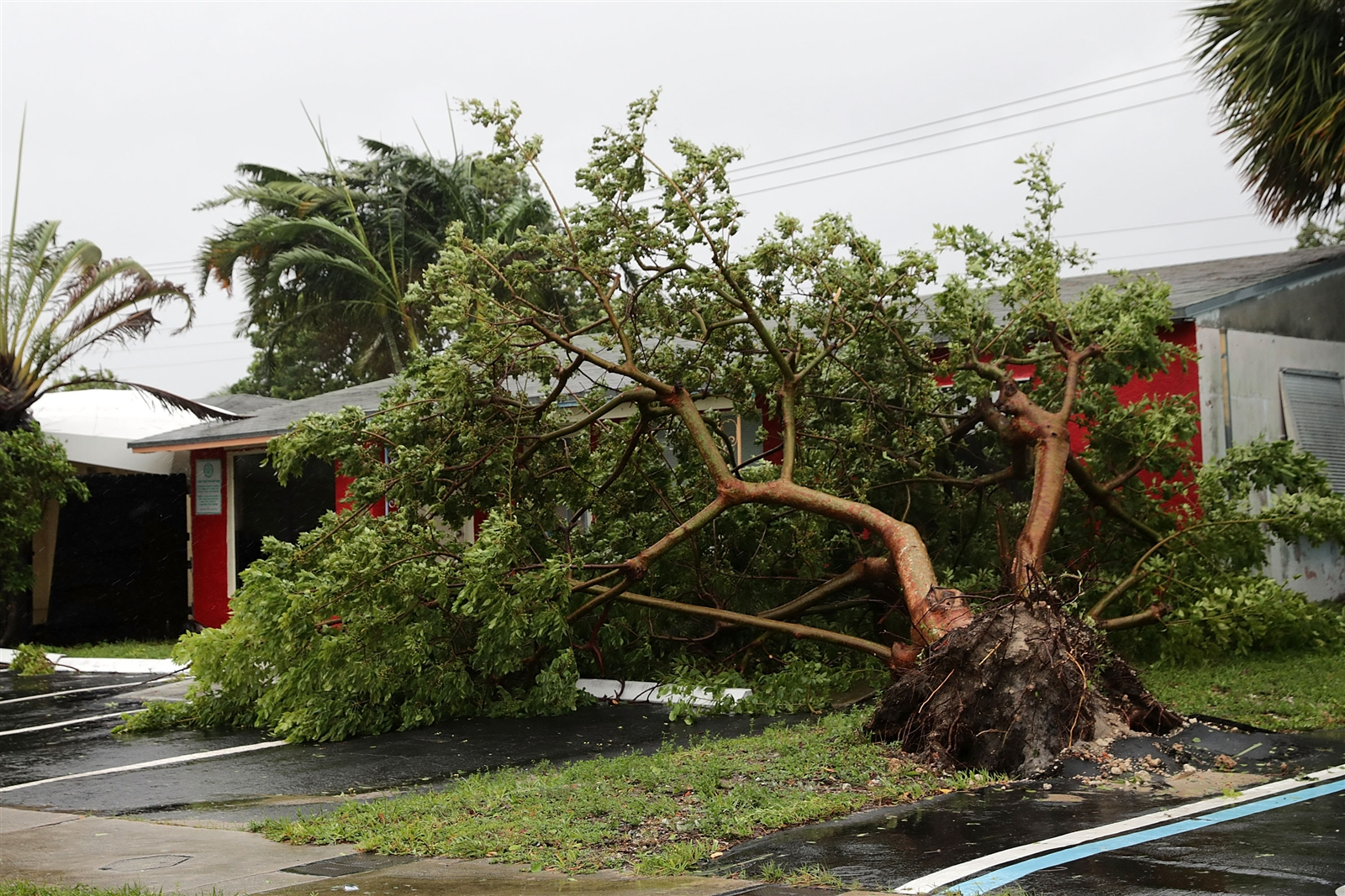 A tree is knocked down by winds produced by Hurricane Irma Sept. 10, 2017, in Fort Lauderdale, Fla. The category 4 hurricane made landfall in the United States in the Florida Keys at 9:10 a.m. after raking across the north coast of Cuba.