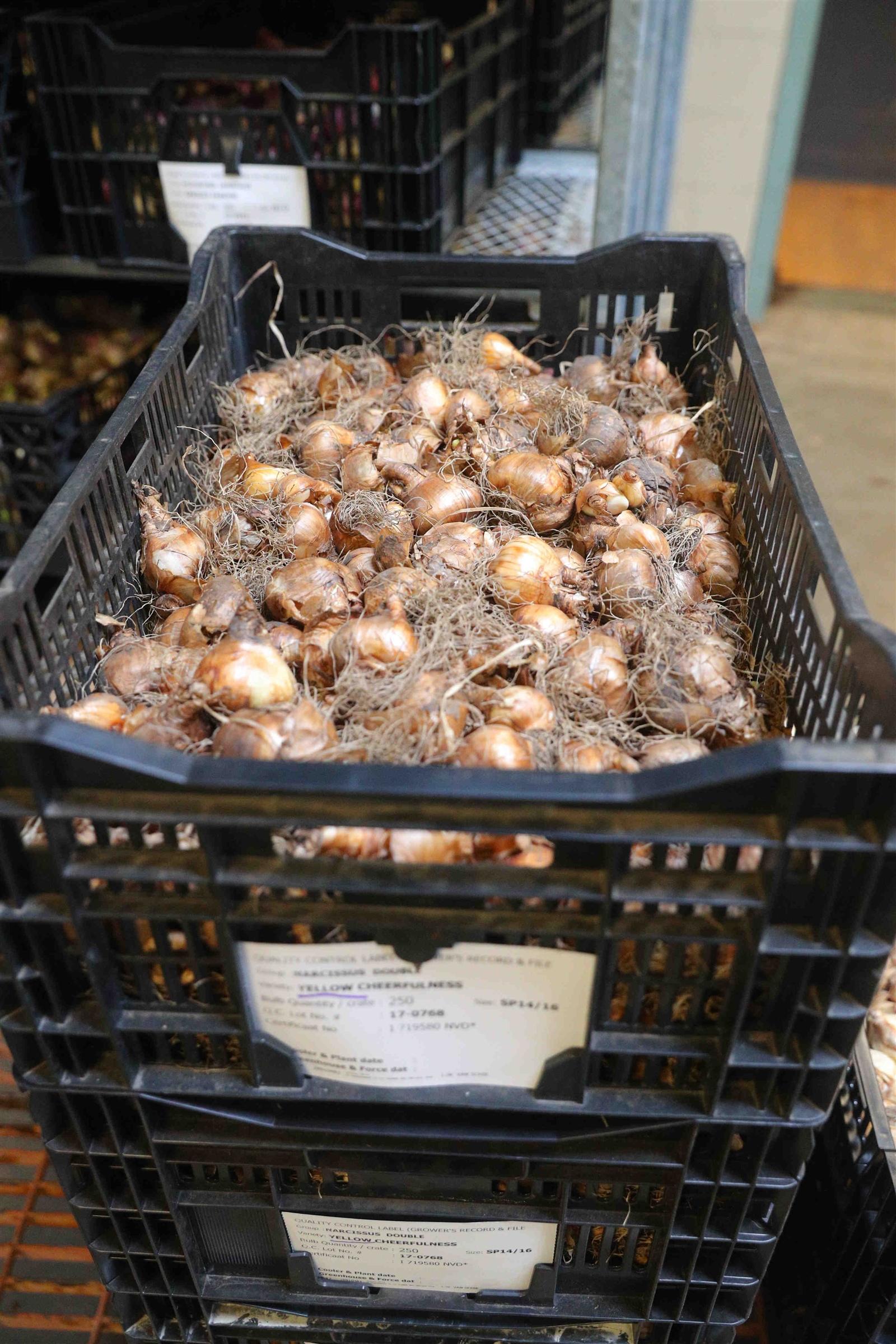 Bulbs awaiting planting at Buffalo and Erie County Botanical Gardens.