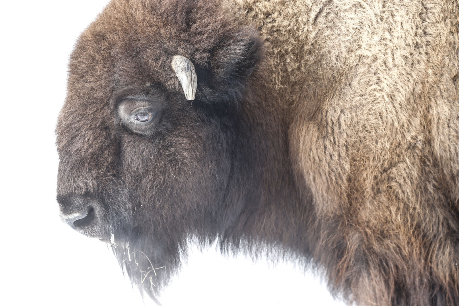 An American bison at the Buffalo Zoo, Wednesday, Jan. 3, 2018.