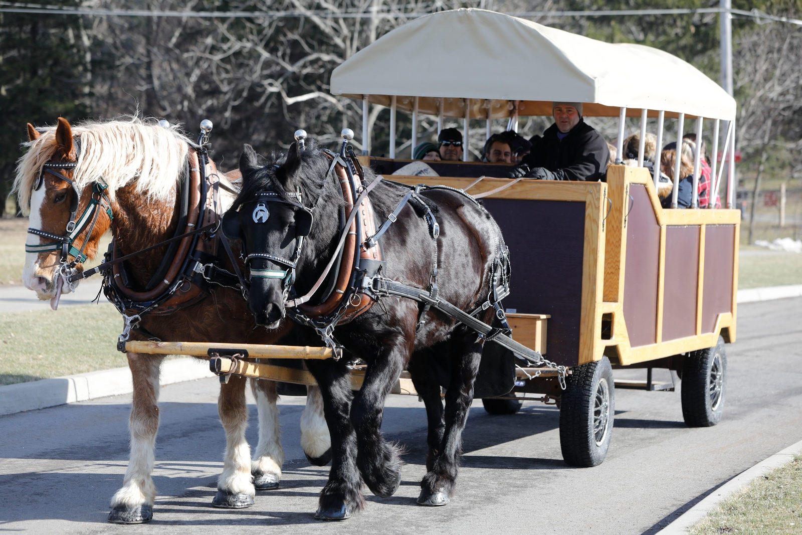 Todd Laing of TD Laing Draft Horses in Springville drives a wagon pulled by draft horses Prince, left, and Ike during Winterfest at Chestnut Ridge Park in Orchard Park, Sunday, Jan. 28, 2018.