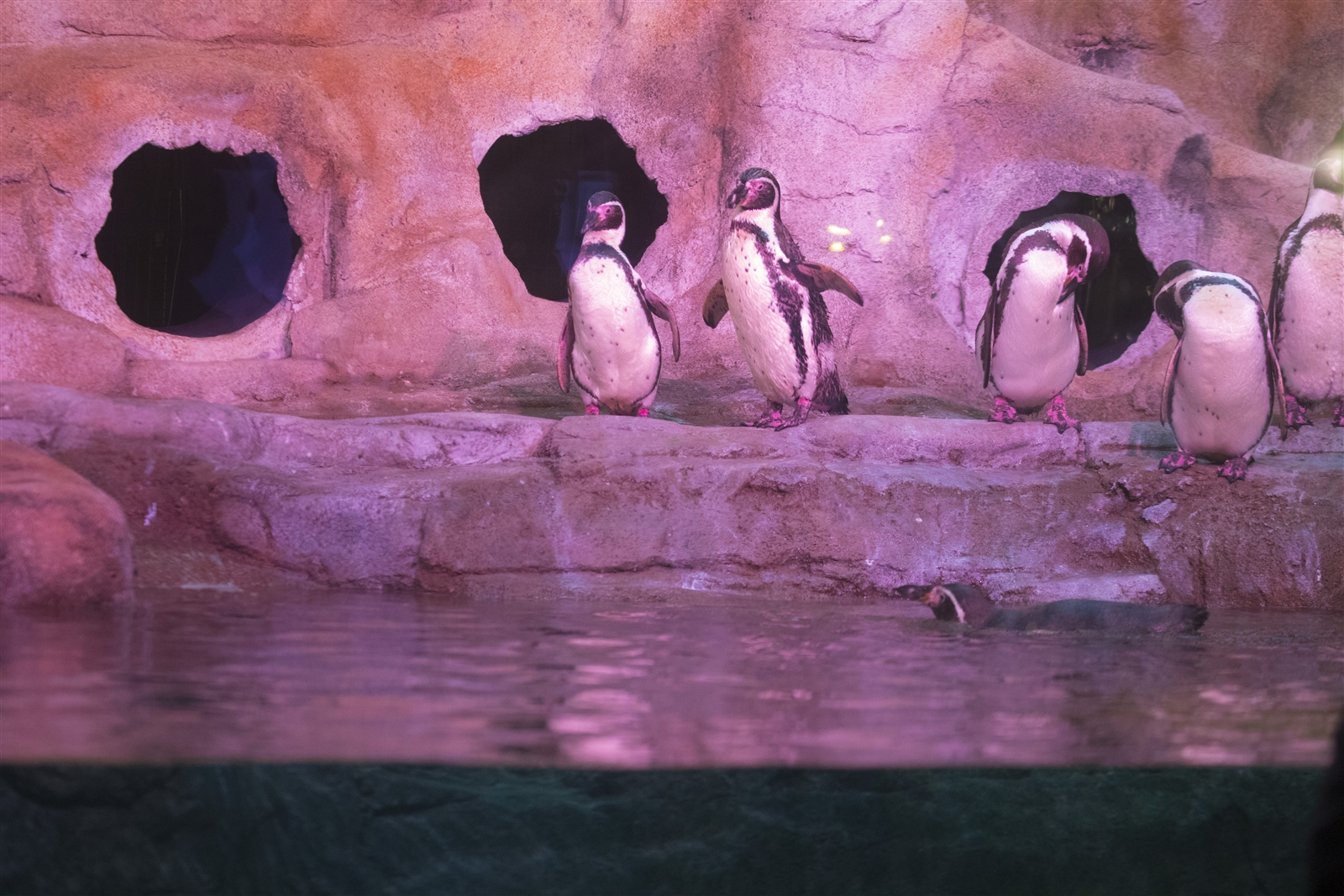 The new habitat will be home to the aquarium's Humboldt penguins.