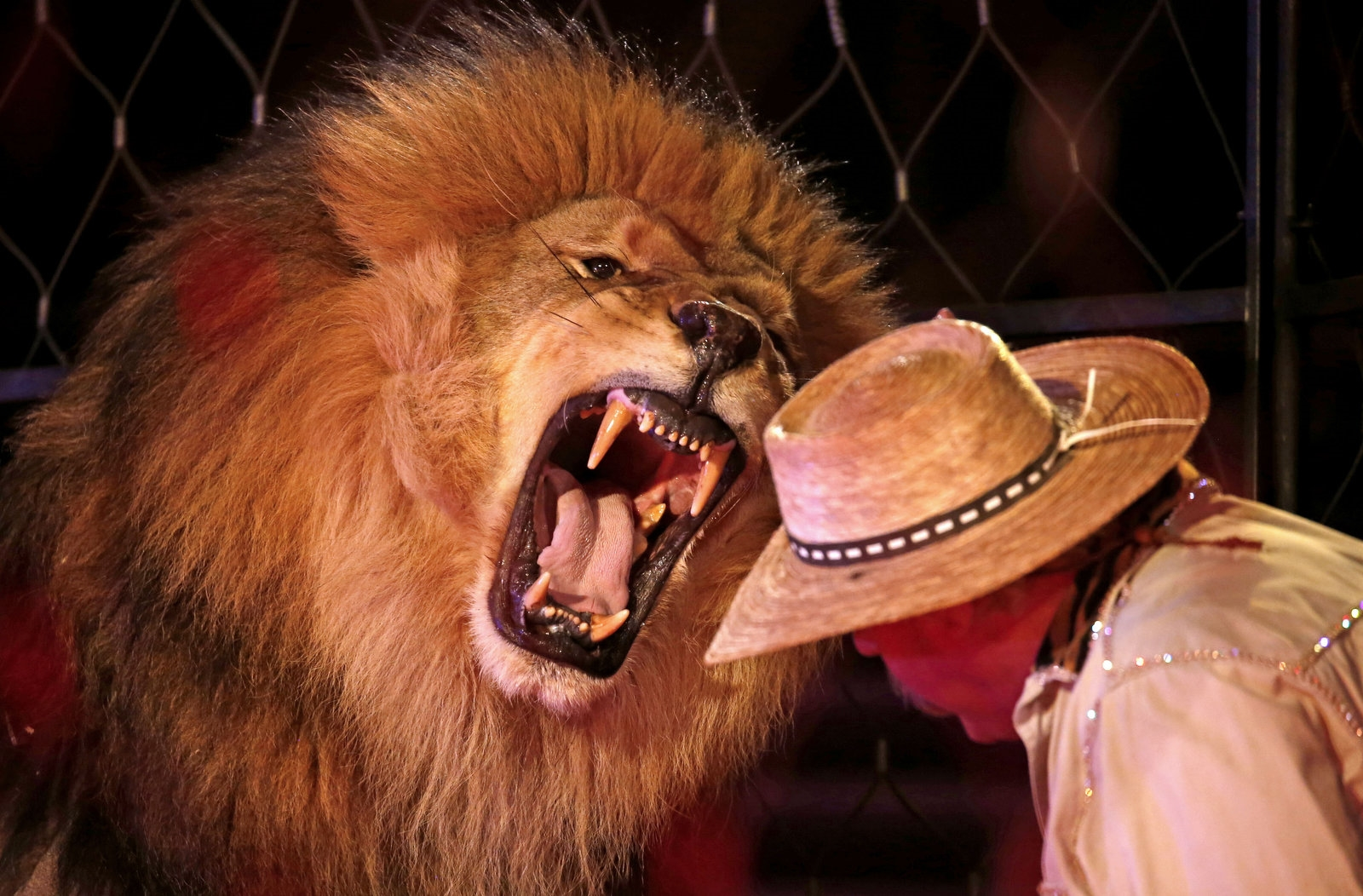 Lion tamer Vince Von Duke gets a closeup view of his lion's mighty roar.