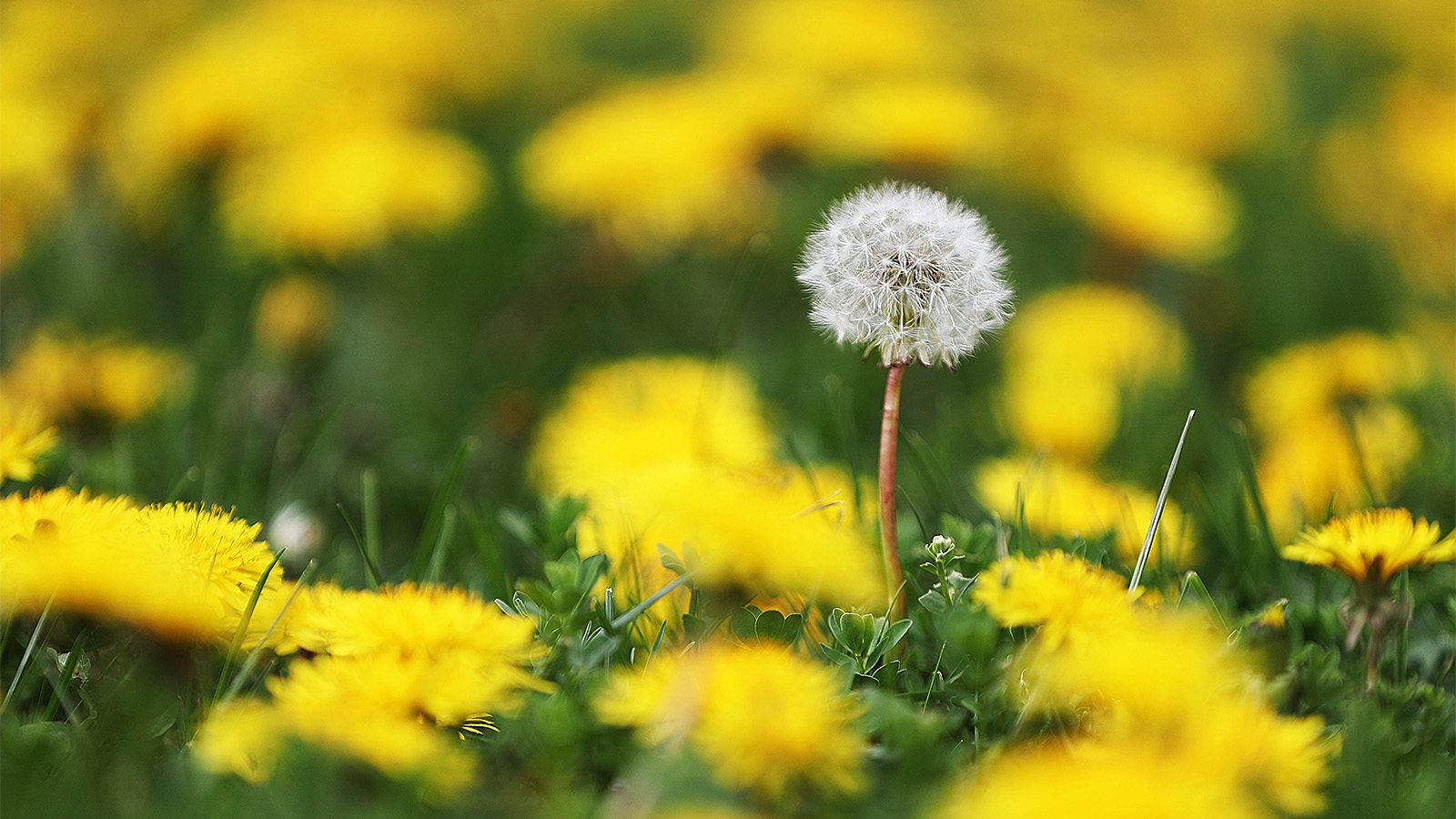 Day 138: May 18, 2018 - A fully seeded dandelion stands out among all the ones in bloom on Maple Road in Amherst.