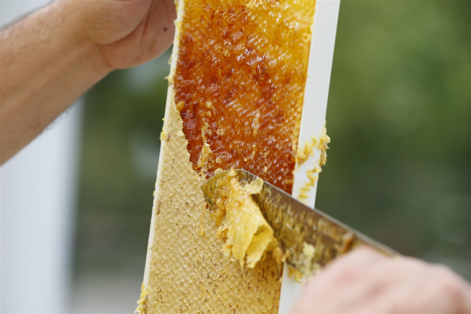 Beekeeper Jesse Perkins uses a honey uncapping knife to extract from a honey frame.