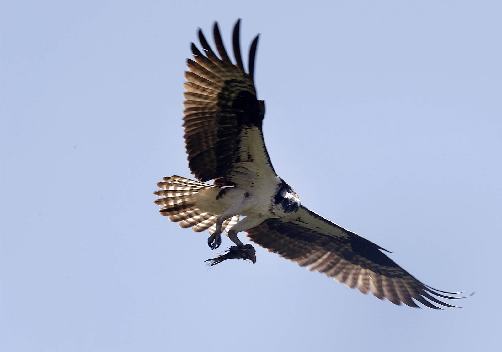An osprey flies in the sky above Iroquois National Wildlife Refuge and its nest where it feeds its offspring, in Basom.