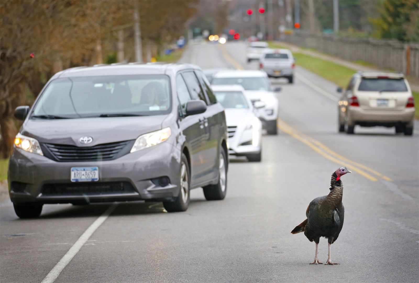 This adult turkey is notorious for standing in the middle of busy Klein Road traffic in Amherst.