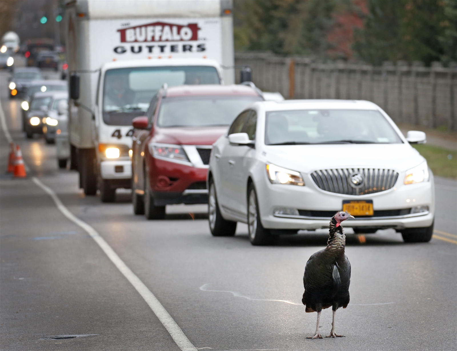 Traffic on Klein Road is at a standstill as the full-grown turkey struts across the road. This is a daily routine for this wild turkey, who taunts drivers near the Paradise and Klein Road intersection.